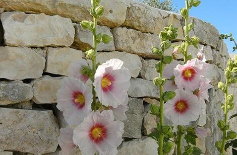 fleur présente sur l'ile de ré