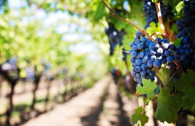 La viticulture sur l'île de Ré