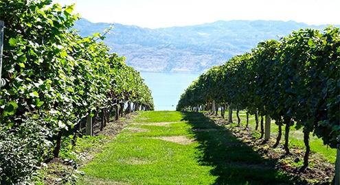 vigne de Bois-Plage-en-Ré